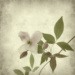 textured old paper background with clematis branch