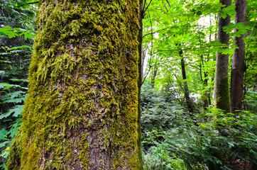 Vancouver: Cedar tree