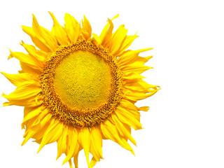 beautiful yellow Sunflower isolated