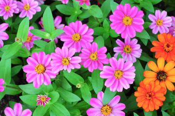 Pink and orange zinnia flower