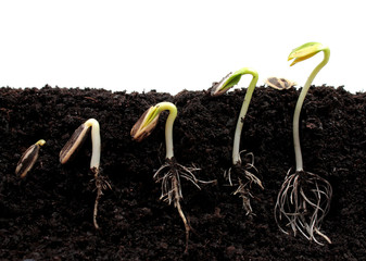 Sequence of sunflower sprouts germination