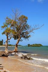 Mangrove trees on tropical beach