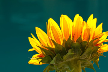Back View of Golden Sunflower on Blue Background