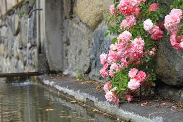 In de dag Fontaine rosier sauvage sur fontaine