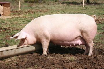 Cochon bio à la ferme