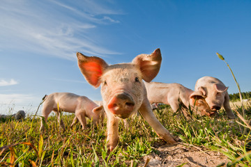 Pigs standing on a pigfarm in Sweden