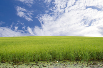 Fototapete - green rice field zone background