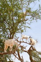 Goats on an argan tree, Essaouira, Morocco