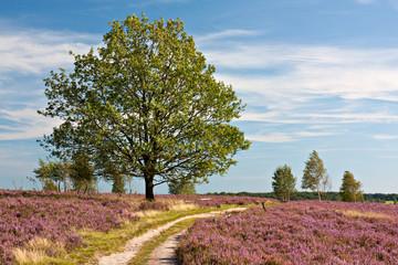 Lüneburger Heide, Pfad durch blühende Heidelandschaft mit Eiche