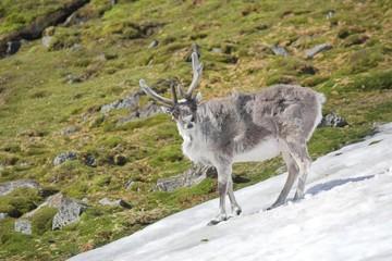 Arctic reindeer - Spitsbergen, Svalbard