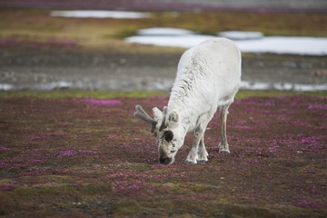 Reindeer walking on tundra