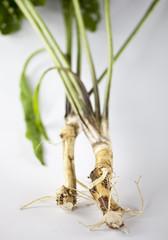 Fototapeta Chrzan / horseradish obraz
