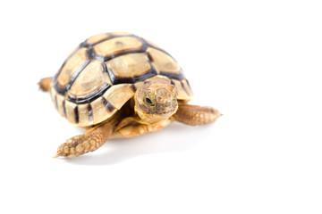 Little tortoise