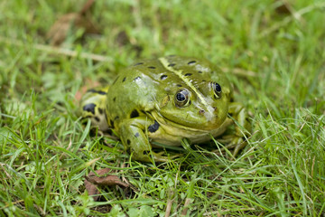 Green European frog