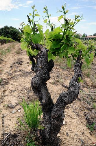 Cep de vigne photo libre de droits sur la banque d for Cep de vigne decoration