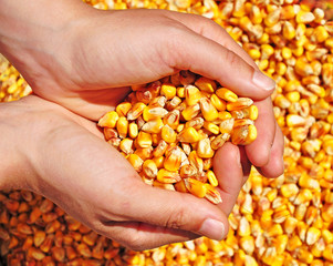 Farmer corn seeds crop