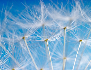 Canvas Prints Dandelions and water The Dandelion. Macro photo of light seeds over light blue