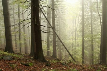 Keuken foto achterwand Bos in mist Coniferous trees in the misty early autumn forest