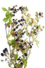 blackberry bush isolated