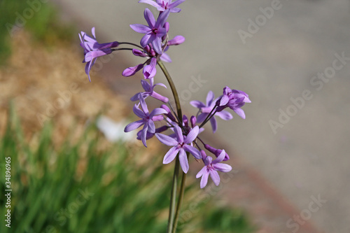 Petite fleur violette photo libre de droits sur la banque d 39 images image 34896965 - Image fleur violette gratuite ...