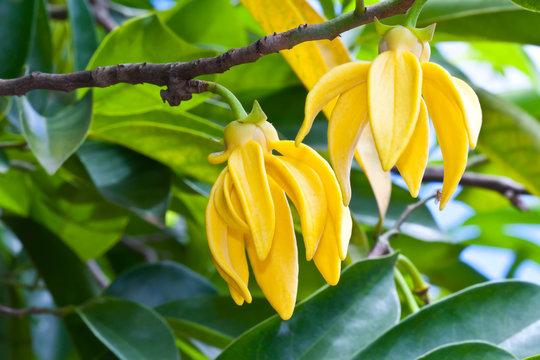Ylang-Ylang Flowers on tree