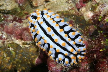 Warzenschnecke, Nudibranch