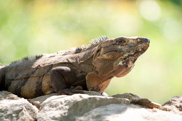 Wild iguana portrait on the rock