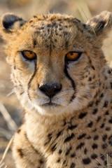 Gepard (Acinonyx jubatus), Portrait