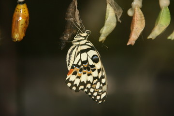 Butterfly just out of its cocoon