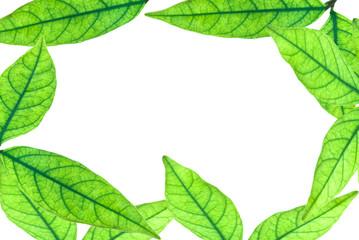 Green leaf fame on white background.