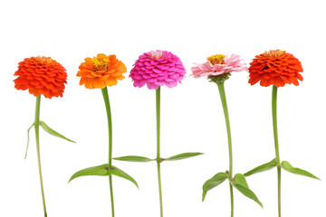 Row of Zinnia flowers