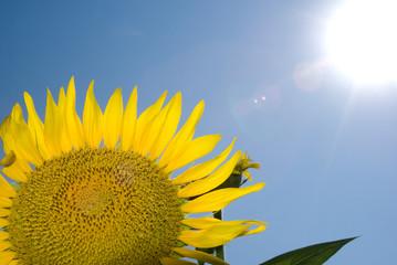 ヒマワリの花と太陽