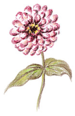 Picture, flower of a Zinnia