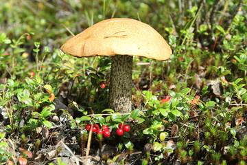 Гриб подосиновик,во мху,в лесу с брусникой.