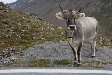 Kuh am Timmelsjoch 2