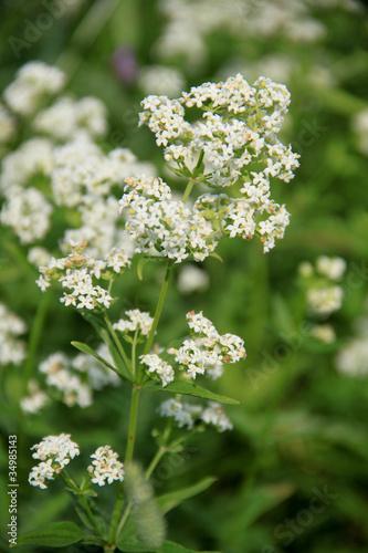 Луговые белые цветы