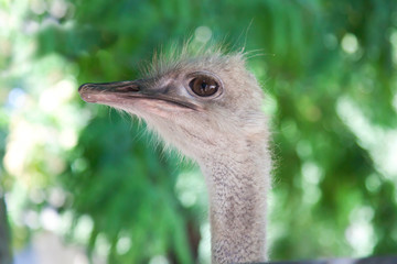 Portrait of an ostrich, a close-up at the zoo.