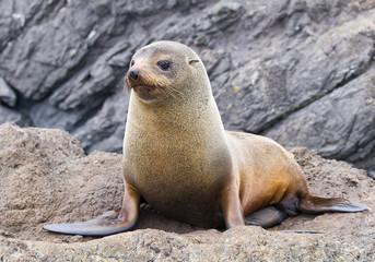 Fur seal New Zealand