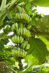green banana hanging on brunch banana tree