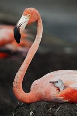 Portrait of the American Flamingo with baby bird.