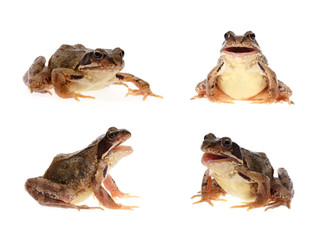 Photo set of common european frog