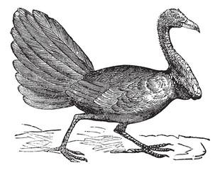 Talegalla lathami or Cuvier's Brushturkey, vintage engraving. vi
