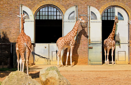 Giraffes in the London Zoo at Regent Park
