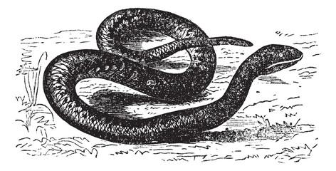 Vipera Aspis or European Viper. Vintage engraving.