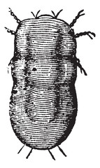 Locust mite or Astoma gryllaria vintage engraving