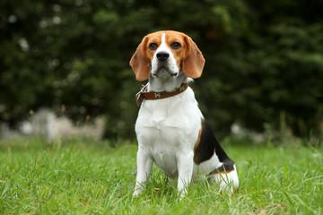 Beagle puppy on grass