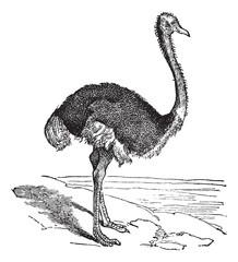 The Ostrich or Struthio camelus. Vintage engraving.