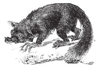 The Aye-aye, lemur or Daubentonia madagascariensis. Vintage engr