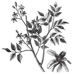 Mahogany or Melia azedarach vintage engraving