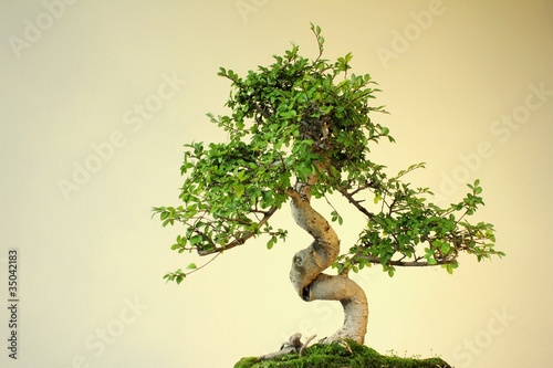 bonsai chinesische ulme ulmus parvifolia stockfotos. Black Bedroom Furniture Sets. Home Design Ideas